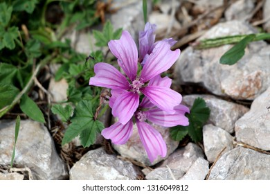 Common mallow or Malva sylvestris or Cheeses or High mallow or Tall mallow spreading herb plant with bright pinkish purple with dark stripes flowers growing between rocks surrounded with green leaves