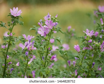 Common mallow (Malva sylvestris, cheeses, high mallow, tall mallow) - plant species of the mallow genus Malva (family Malvaceae)