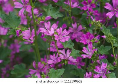 Common mallow (Zeni-aoi) - Shutterstock ID 1112599682