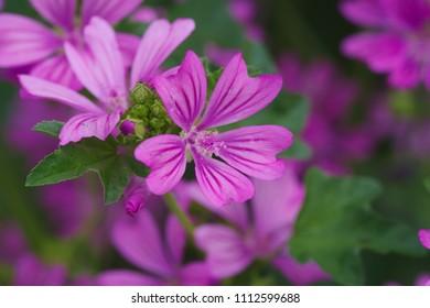 Common mallow (Zeni-aoi) - Shutterstock ID 1112599688