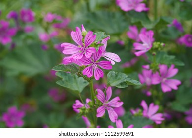 Common mallow (Zeni-aoi) - Shutterstock ID 1112599691