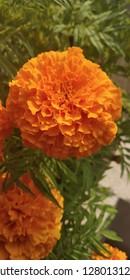 common marigold of my garden