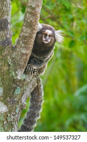 Common marmoset (Callithrix jacchus) or White-eared marmoset; New World monkey