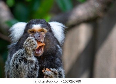 A common marmoset in the tree line