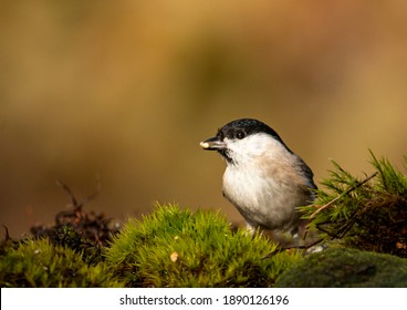 Common Marsh Tit in the forest background