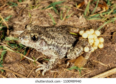 Common Midwife Toad (Alytes obstetricans)