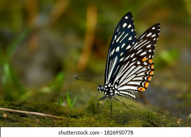 The Common Mime - Chilasa clytia or Papilio clytia, swallowtail butterfly found in south and southeast Asia, subgenus Chilasa, black-bodied swallowtails, Batesian mimic among the Indian butterflies.  - Shutterstock ID 1826950778