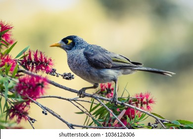 Common Minor bird in a tree - Myna brid