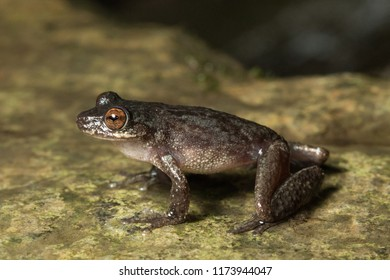 Common Mistfrog (Litoria rheocola), on of the endangered species of torrent frogs found in tropical Far North Queensland, Australia.