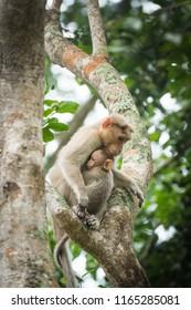 Common Monkey with baby monkey wondering around Kabini Wildlife sanctuary, Karnataka, India.