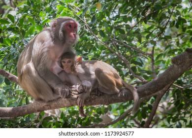 Common Monkey wondering around Kabini Wildlife sanctuary, Karnataka,India.