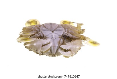 The common moon crab, Matuta victor, is a small benthic tropical crab with a rounded carapace, two long lateral spines, yellowish color, numerous fine black spots and legs and bright yellow chelae