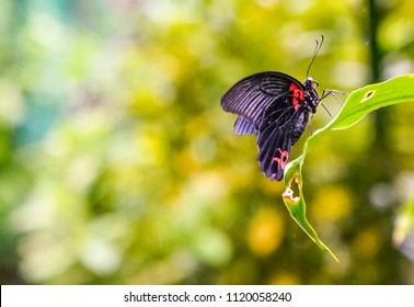 Common Mormon Butterfly with copy space