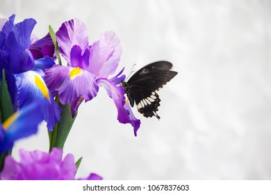 Common Mormon Butterfly (Papilio polytes) on iris flower