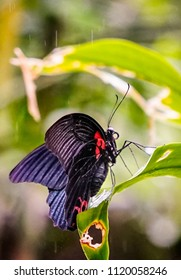Common Mormon Butterfly in the rain