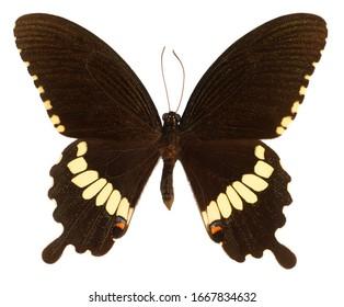 Common Mormon, Papilio polytes romolus, butterfly isolated on white background.