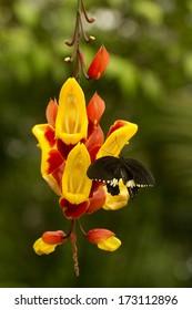 Common Mormon (Papilio polytes) sucking nectar on Thunbergia mysorensis