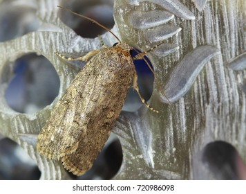 a common moth