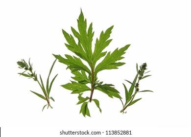 Common mugwort (Artemisia vulgaris) isolated against a white background