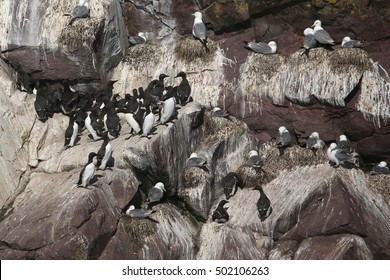 Common Murre and Black-legged Kittiwakes on the bird cliffs at Cape St. Mary's Ecological Reserve, Newfoundland
