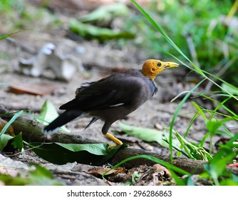 Common Myna bird (Acridotheres tristis) perching on the woodstick