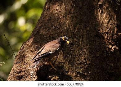 A Common Myna in the fork of a tree.