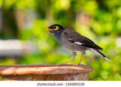 Common myna isolated perching on clay bowl of water