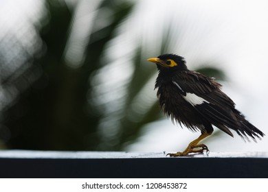 Common Mynah on the tropical islands of the Seychelles