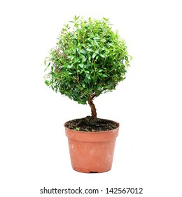 common myrtle. Bonsai tree on white background