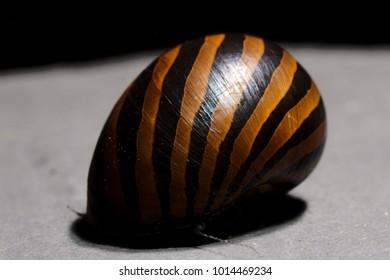 common name Spotted nerite aquarium snail (Neritina natalensis)