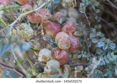 The common name for this plant is Freckled Milkvetch, botanical nomenclature classifies it as Astragalus Lentiginosus. Southern Mojave Desert native, visualize in Joshua Tree National Park.