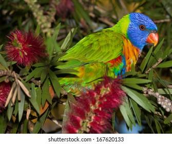 common native parrot the Rainbow  lorikeet