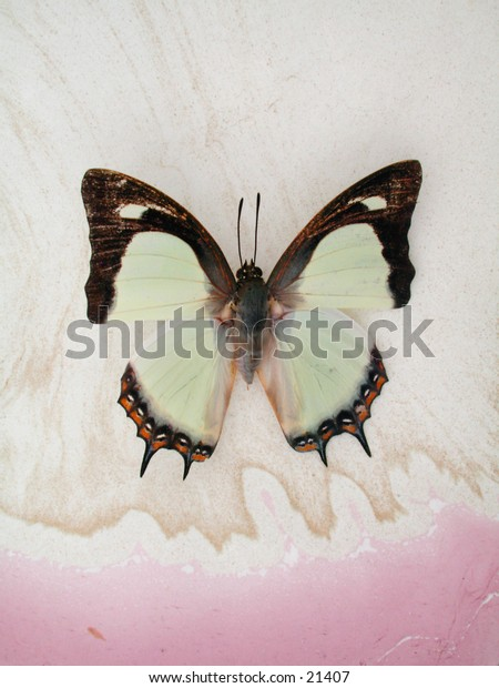A Common Nawab Butterfly photographed on hand marbled paper.