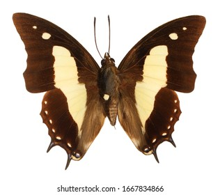 The Common Nawab, Polyura athamas, butterfly isolated on white background.