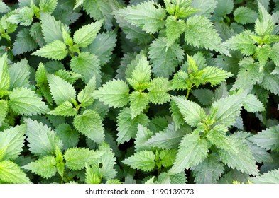 common nettle. Urtica dioica. Herbal medicine