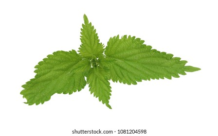 common nettle (Urtica dioica) isolated on white