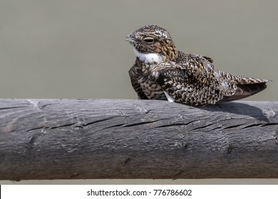 Common Nighthawk bird perched on wooden fence railing