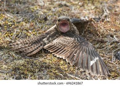 Common Nighthawk Chordeiles minor female doing distraction display near nest