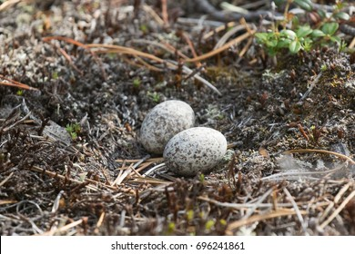 Common Nighthawk Chordeiles minor nest and eggs