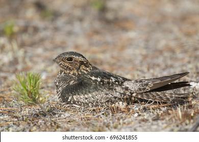 Common Nighthawk Chordeiles minor side portrait
