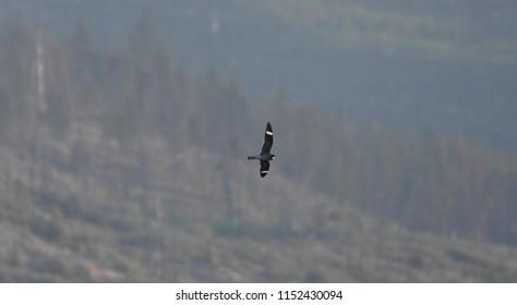 a Common Nighthawk flying