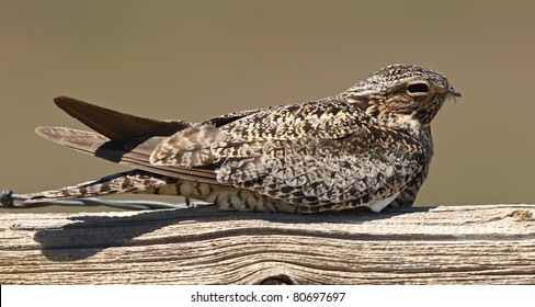 A Common Nighthawk perched on fencepost during day.