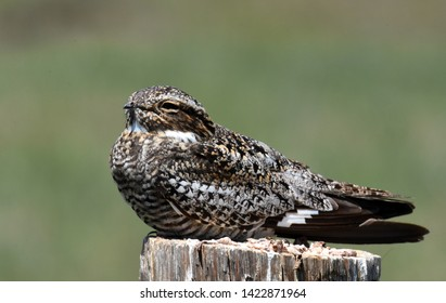 A Common Nighthawk rests on a fence post on the Colorado prairie.