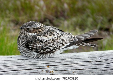 Common Nighthawk sleeping