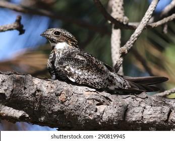 Common Nighthawk in Sunlight