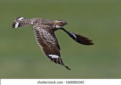 A common nighthawk taking flight