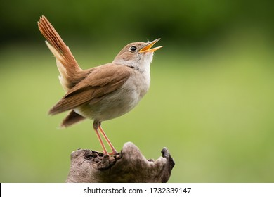 Common Nightingale (Luscinia megarhynchos), beautiful small orange songbird with long turned up tail, standing on on branch and singing. Diffused green background. Scene from wild nature.
