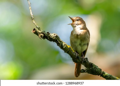 Common nightingale (Luscinia megarhynchos) sits on a branch and sings