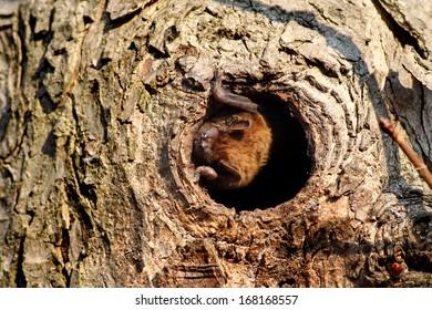Common noctule bat  (Nyctalus noctula)