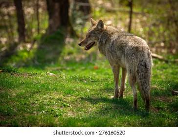 Un coyote nord-américain commun ( Canis Latrans) capturé à l'arrière et regardant vers la gauche.